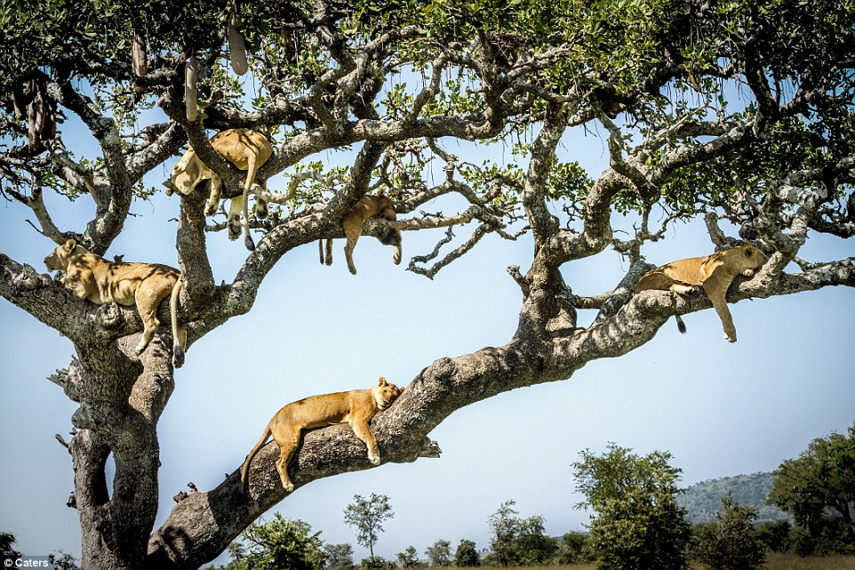 Lions in a tree#7