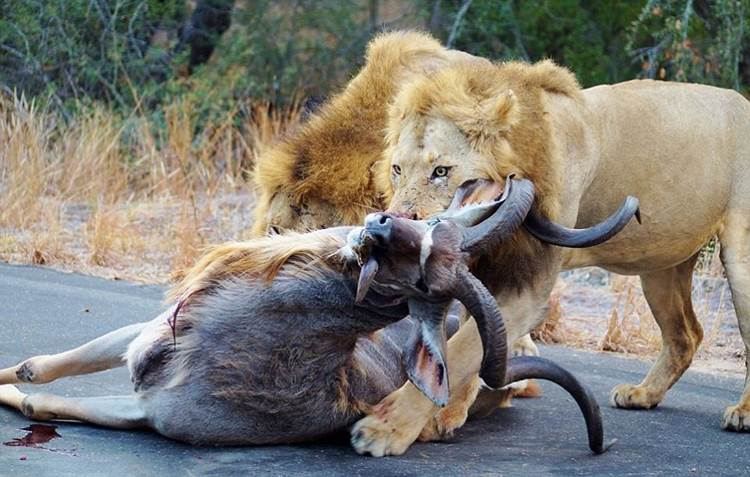 Ring side seats of a lion kill#5