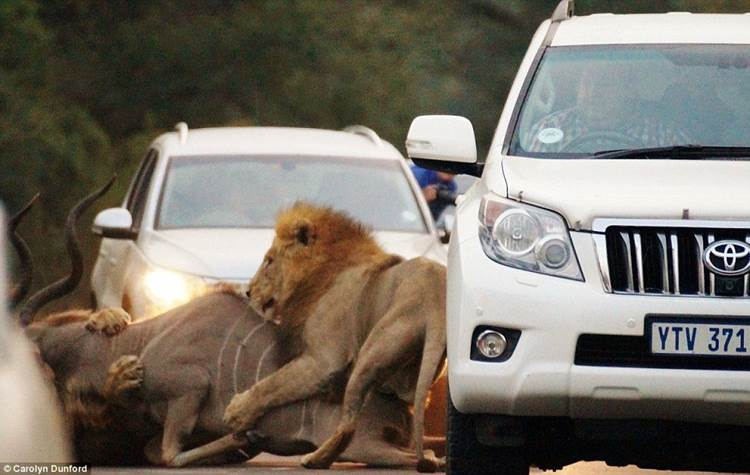 Ring side seats of a lion kill#6