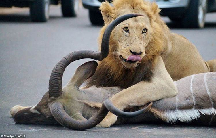 Ring side seats of a lion kill#7