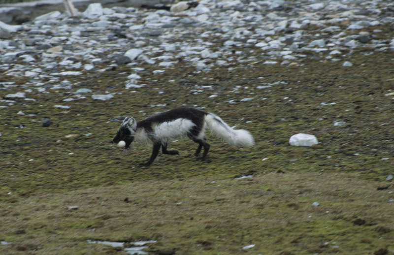 The Artic Fox captures a snack - a Barnacle Goose chick which survived it s base jumping attempt
