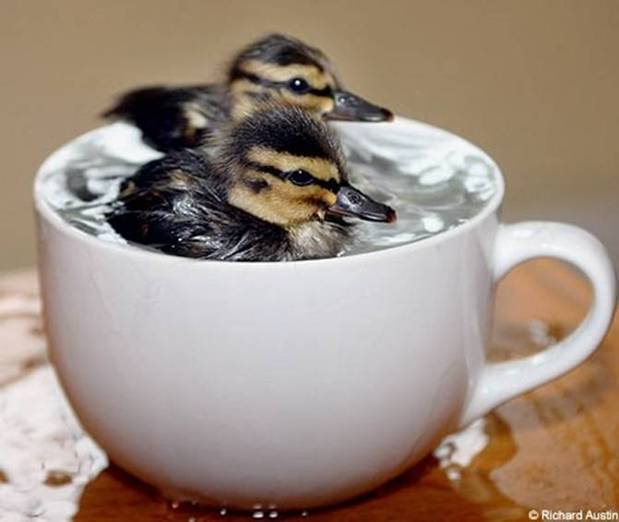 The cup indicates the size of the ducklings