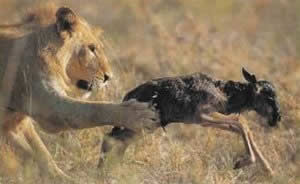 young-wildebeest-caught-by-lion