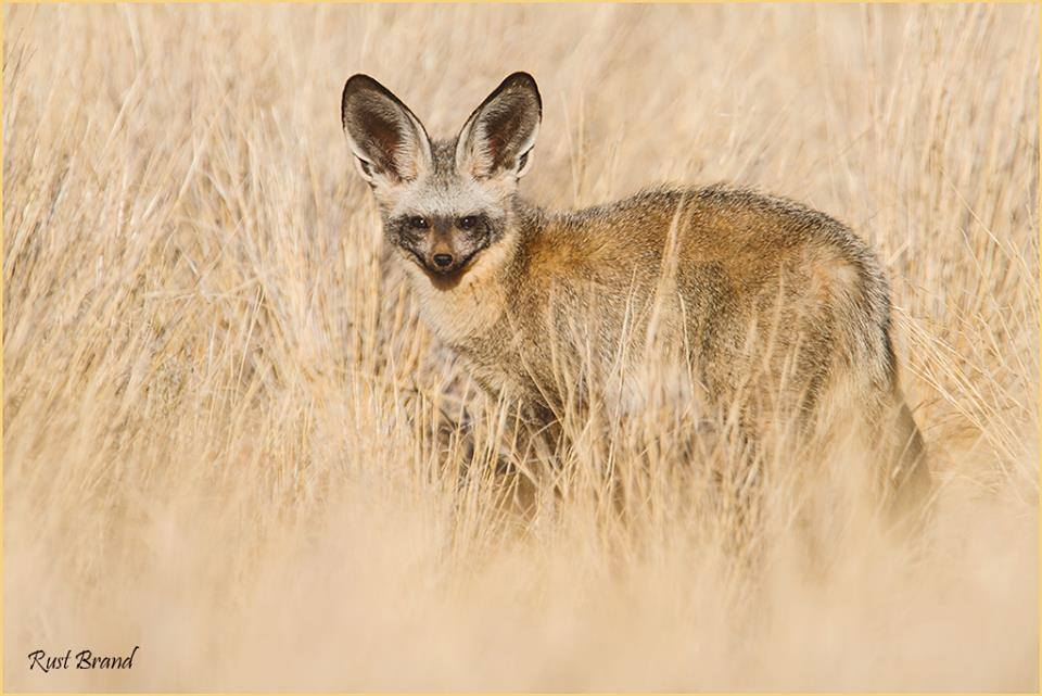 Bat eared-Fox