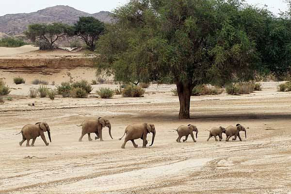 Elephant family in the Hoanib river