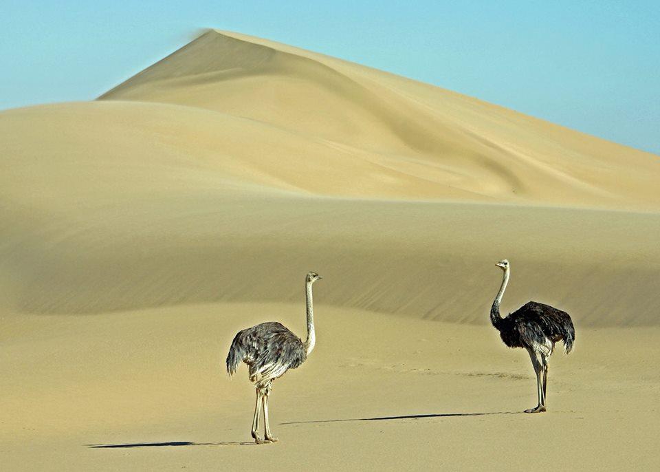 Ostrich pair in Kuiseb delta.