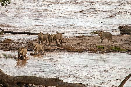 These lions swam through the flooding water and reached safety