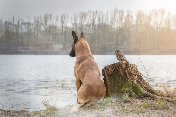 Belgian Shepherd and an Owl#1