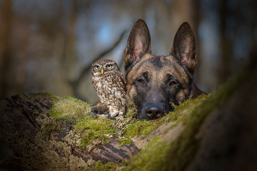 Belgian Shepherd and an Owl#11