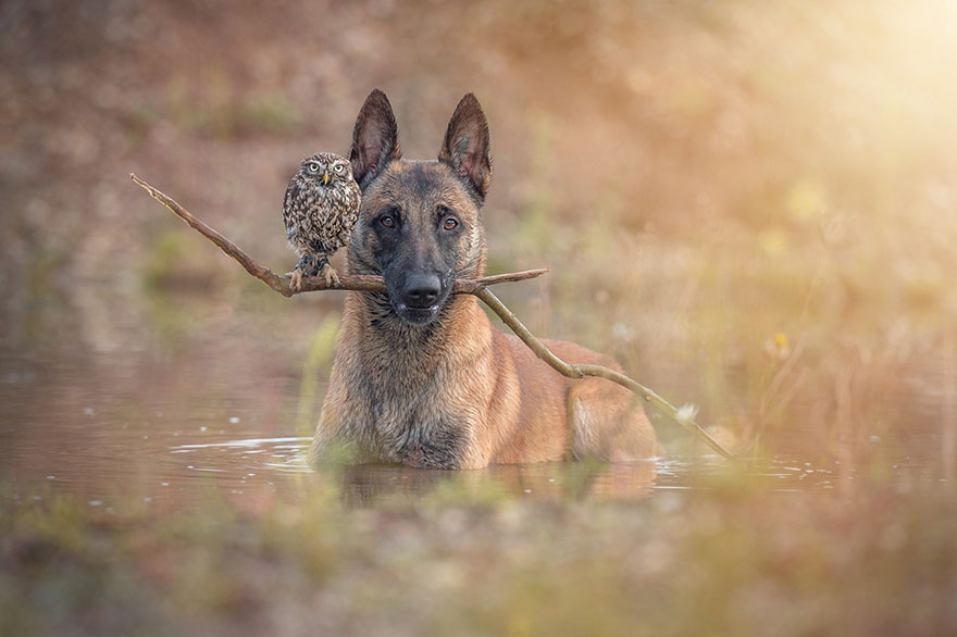 Belgian Shepherd and an Owl#12