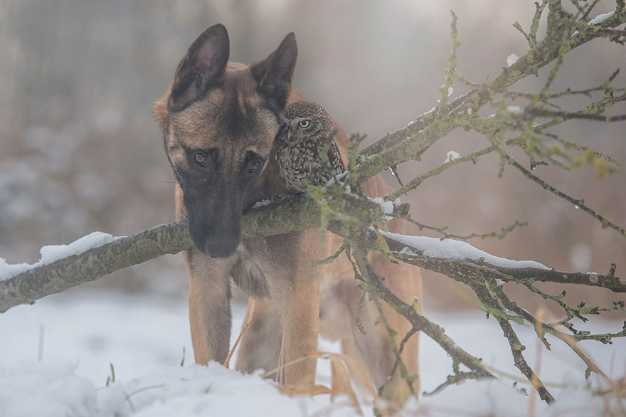 Belgian Shepherd and an Owl#13