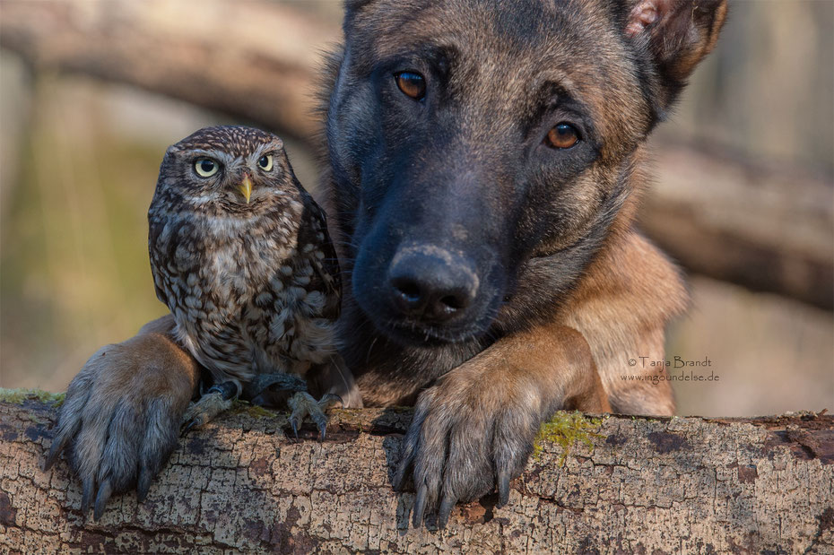 Belgian Shepherd and an Owl#2