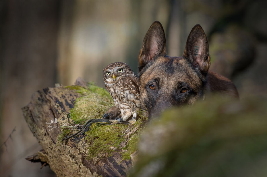Belgian Shepherd and an Owl#3