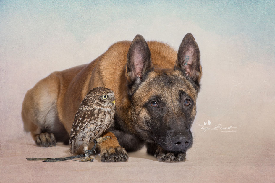 Belgian Shepherd and an Owl#4