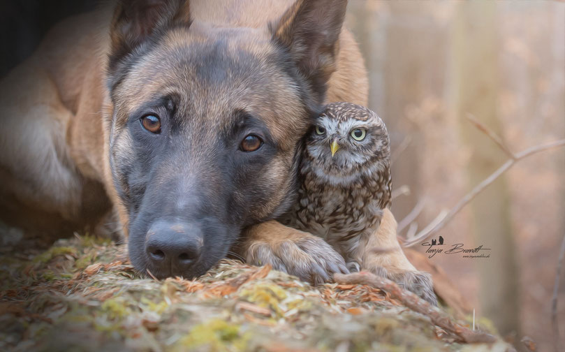 Belgian Shepherd and an Owl#5