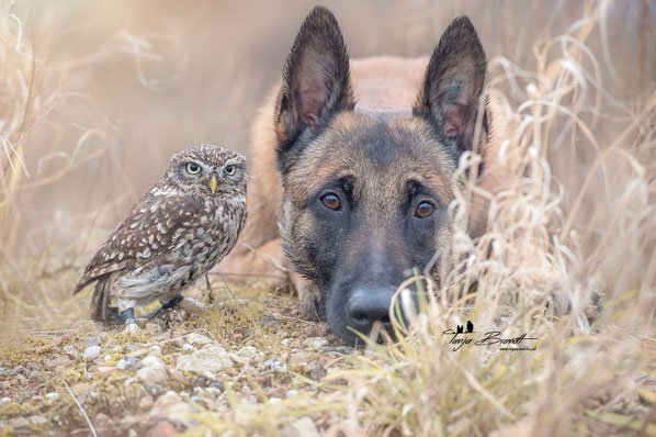 Belgian Shepherd and an Owl#6
