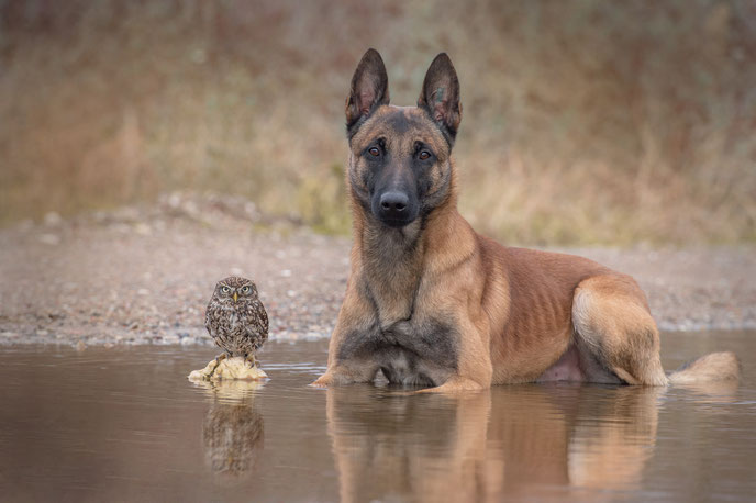 Belgian Shepherd and an Owl#9