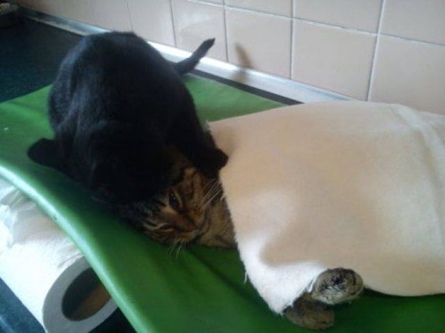 Cat always comforts sick animals#1