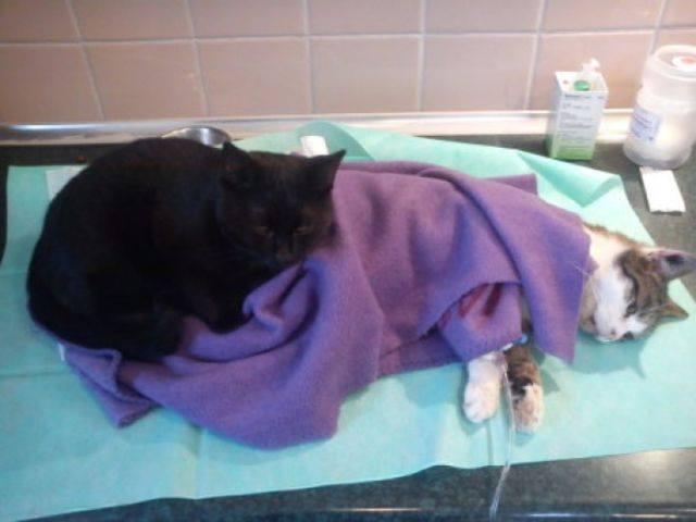 Cat always comforts sick animals#2