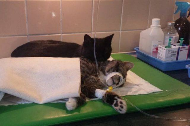 Cat always comforts sick animals#3