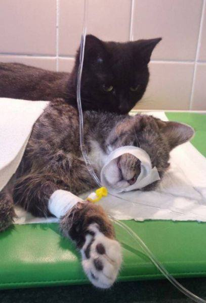 Cat always comforts sick animals#5