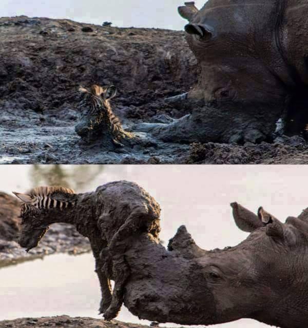 Rhino saving a baby zebra's life