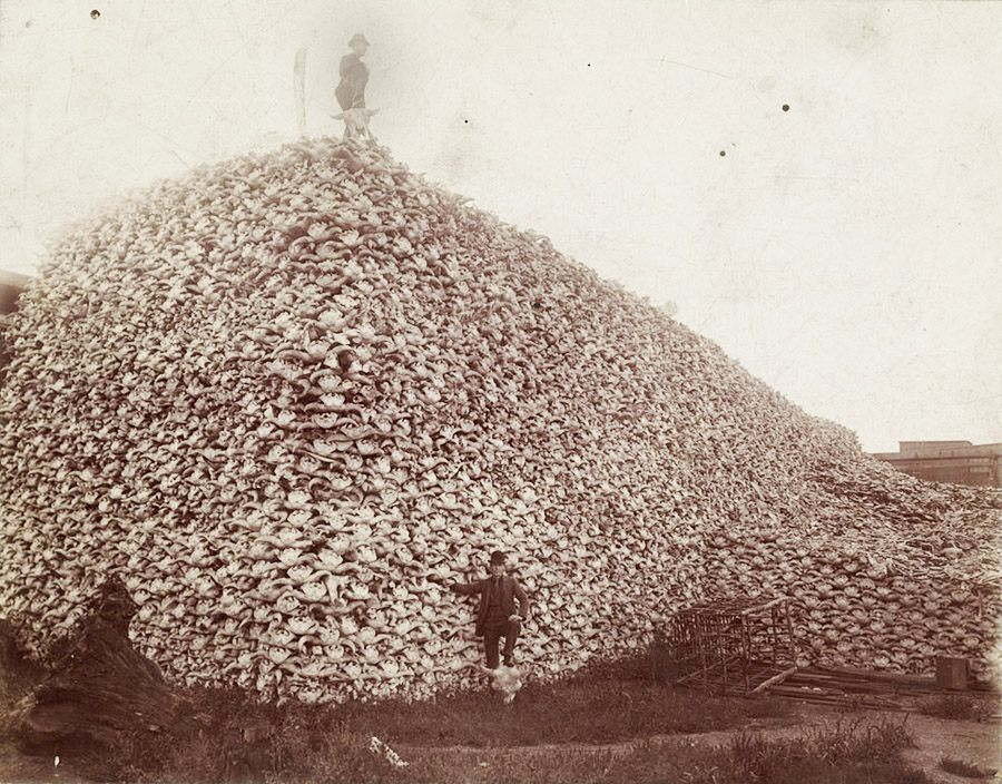 A mountain of bison skulls dating to the mid 1870s