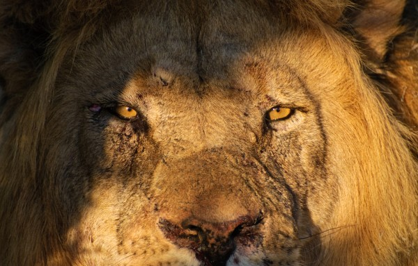 Sylvester the Lion is at large again having once again escaped from the Karroo National Park