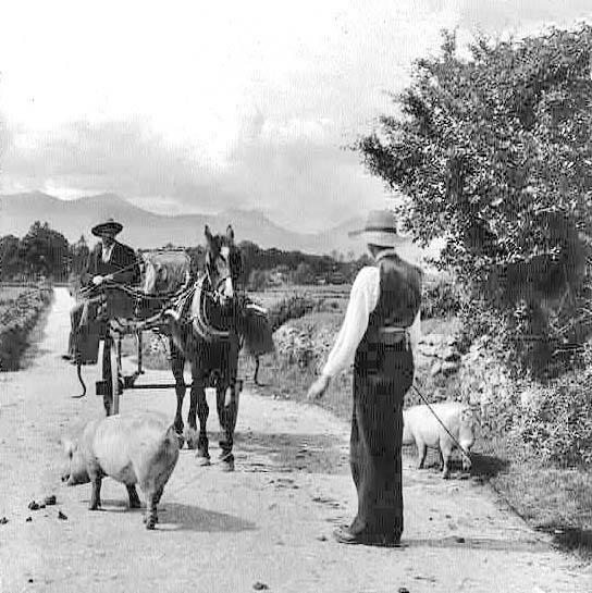 Herding the pigs