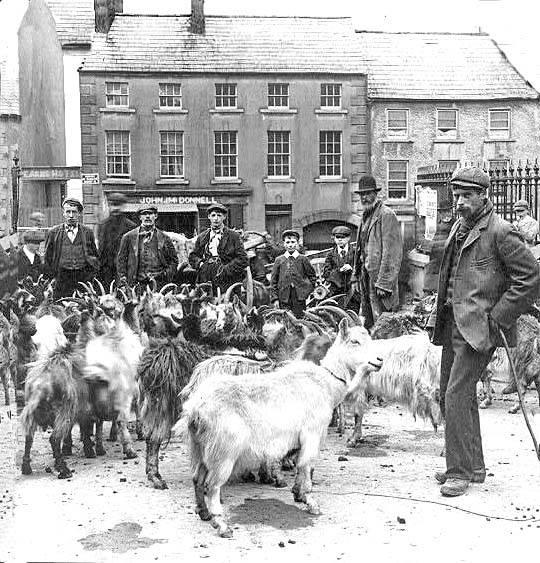 Nanny goat market