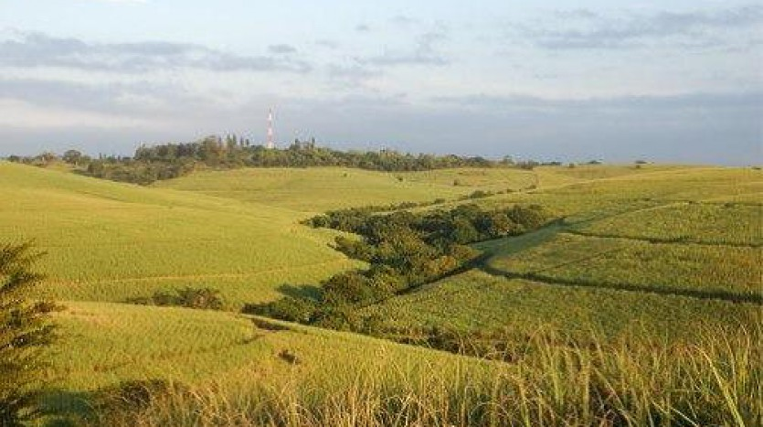 Sugar cane fields at Darnall