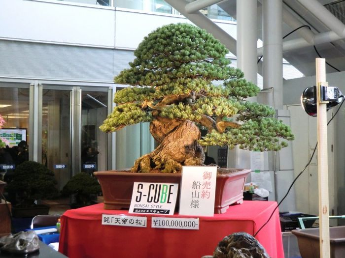 300 year old Bonsai Tree worth USD 1.5 million