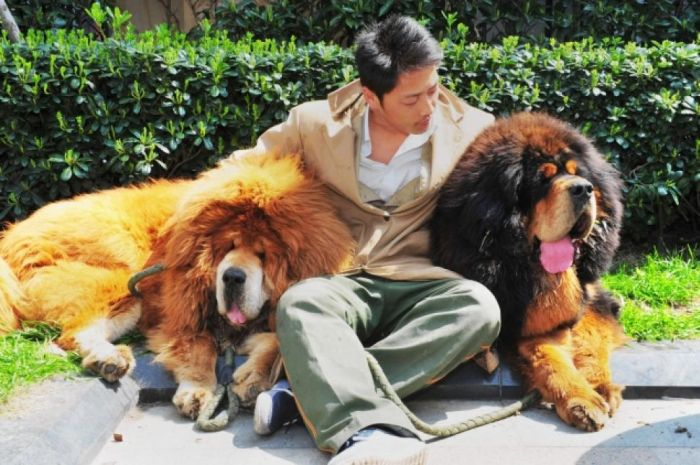 The most expensive dog in the world is the beautiful, rare and huge Tibetan Mastiff puppy (dog on the right). This gorgeous hound is worth $2 million dollars.
