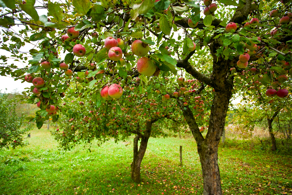 A typical apple orchard