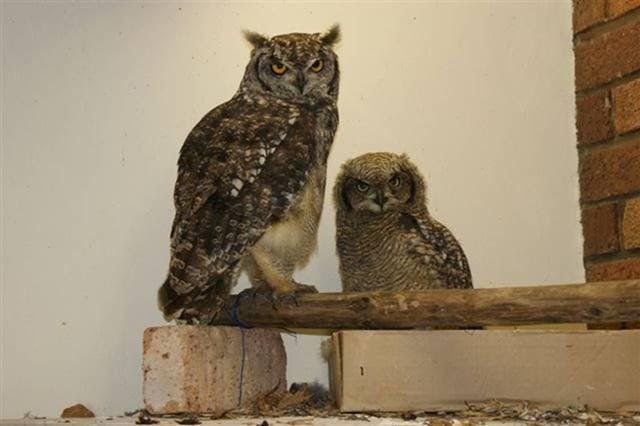 A young owlet that he helped raise and that we rehabilitated successfully