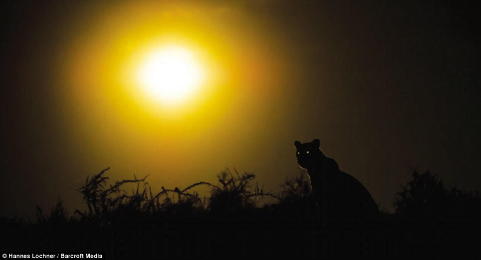 As the sun sets, the big cats, including Luna and her cubs and the lions, would seek out opportunities for food