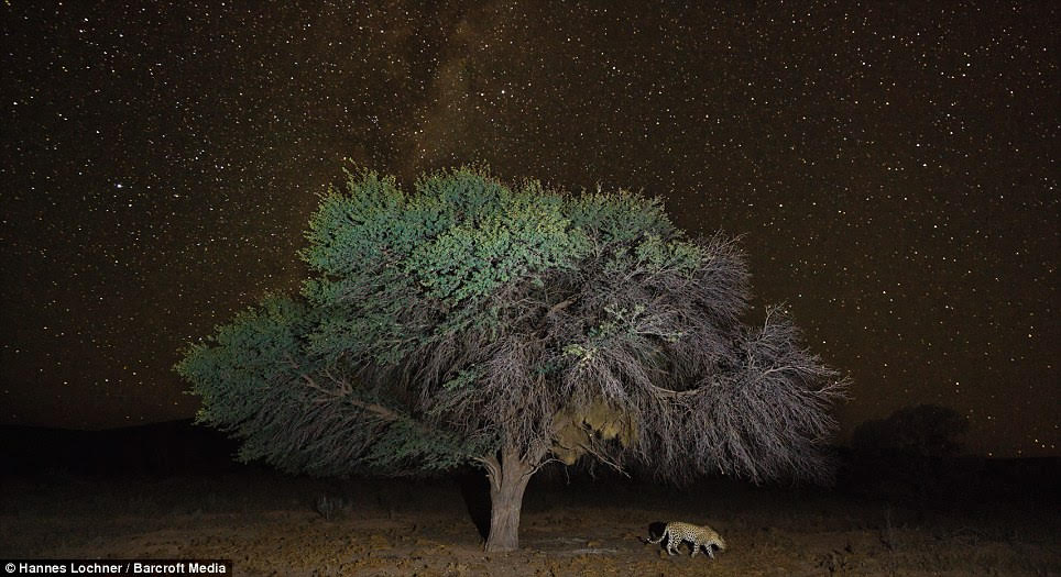 Beneath a blanket of stars, one leopard was captured walking past a magnificent lone tree in the desert