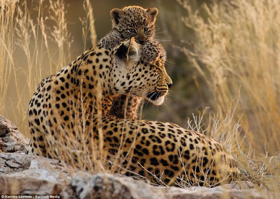 Filming Luna with her cubs was the highlight of Mr Lochner's two-year project immersed in the Kalahari Desert