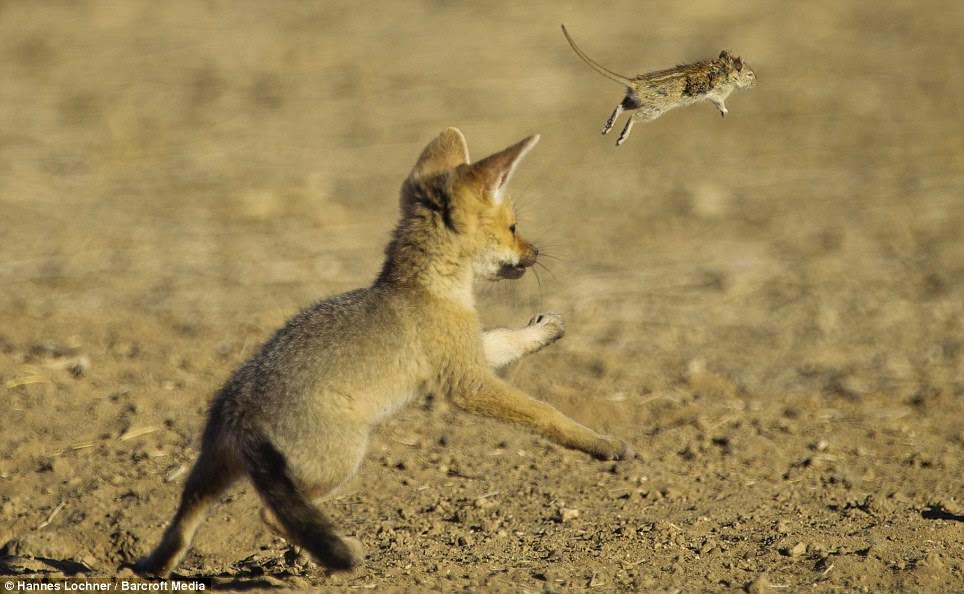 Fox cub playing with a mouse