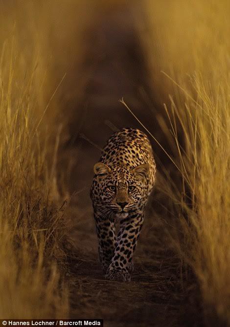 Luna the Leopard#01