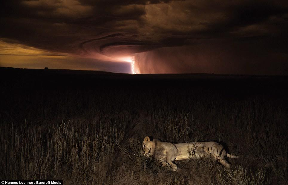 Night time work produced some incredible shots, including this lioness trying to sleep as thunder storm raged nearby