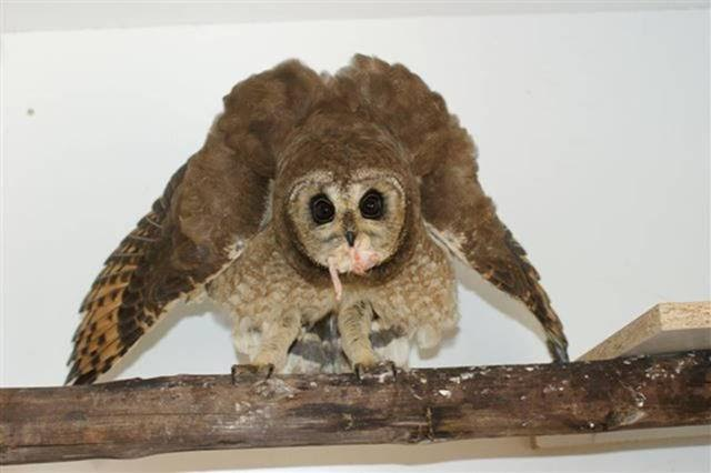 The owl is free to come and go as it pleases and lives as close to a natural life as possible