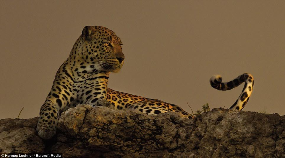 The striking looking female leopard scoured the desert when night fell searching for threats and opportunities for food