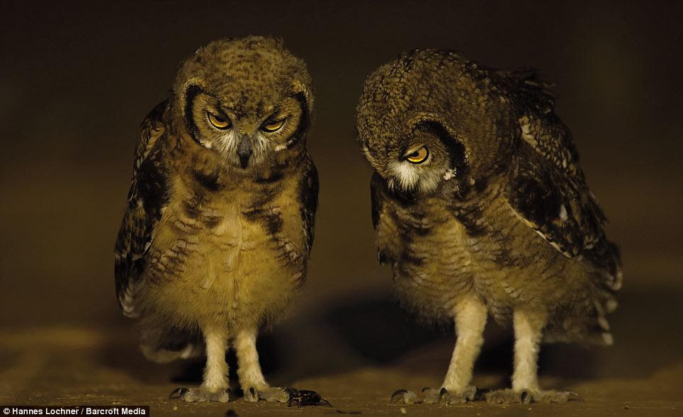 These two owls appeared to be bemused and fascinated by an insect that scurried between them