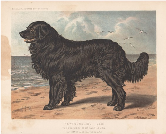 A water colour painting of a Newfoundland dog named 'Leo' owned by Howard Mapplebeck