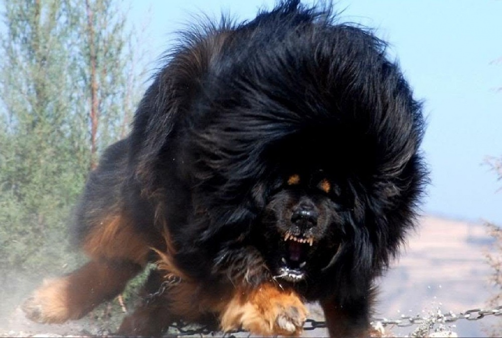One of the most unusual breeds of dogs the Tibetan Mastiff