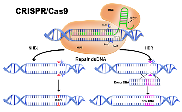 CRISPR Dual Editing Method