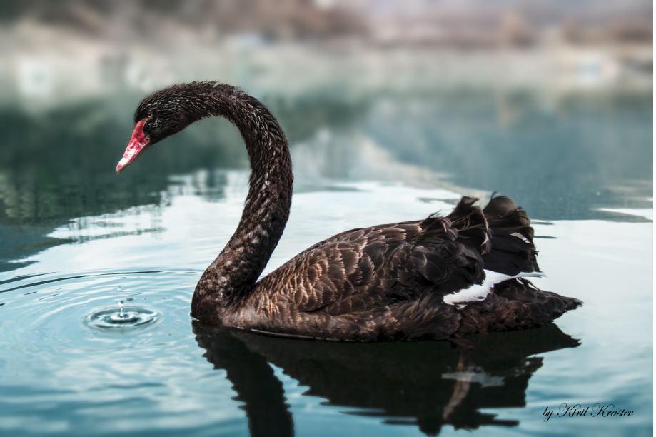 a-black-swan