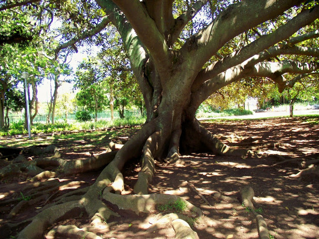 In and around St Georges Park there are several old Wild Fig Trees