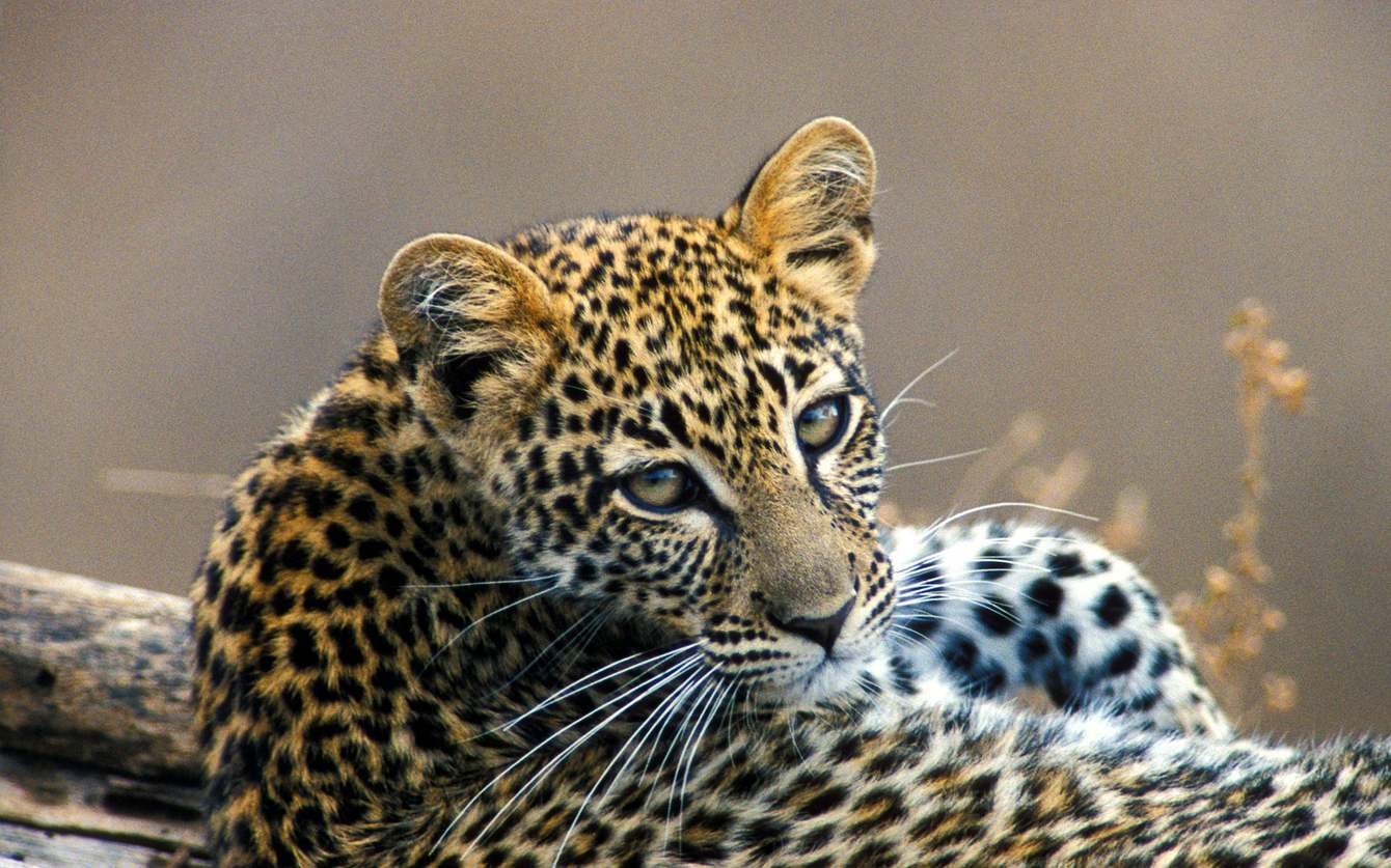 leopard-at-sabi-sands